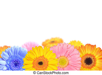 gerberas flowers isolated on white