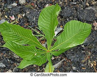 leaf of chestnut (Aesculus hippocastanum), South Bohemia,...