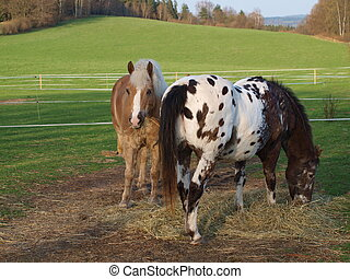 brown and piebald horse eating hay . South Bohemia