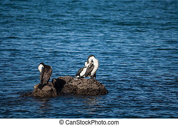grooming cormorants on volcanic rocks