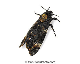 Deaths-head Hawkmoth Acherontia atropos isolated on white...