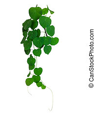 Green Ivy Plant Close Up - Green ivy plant close up isolated...