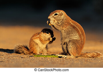 Feeding ground squirrels Xerus inaurus in late afternoon...