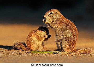 Feeding ground squirrels (Xerus inaurus) in late afternoon...