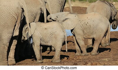 African elephant calves (Loxodonta africana) with their...