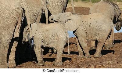 African elephant calves (Loxodonta africana) with their...