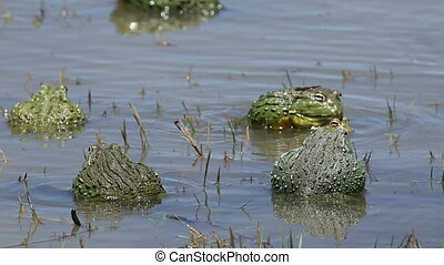 Mating African giant bullfrogs - African giant bullfrogs...