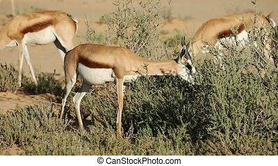 Springbok browsing - A springbok antelope (Antidorcas...