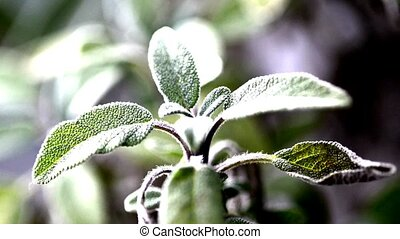 Sage, plant and tea preparation