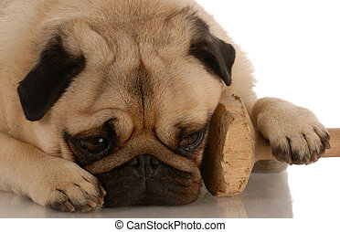 obedience dog - pug with paw resting on training dumbbell