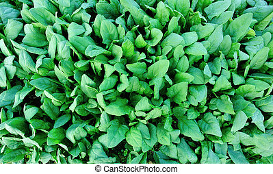 fresh spinach in growth at vegetable garden