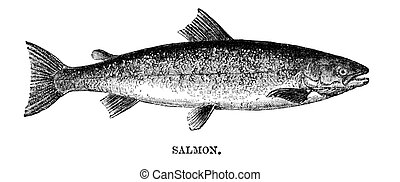 Salmon - An engraved vintage fish illustration image of a...
