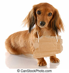 long haired miniature dachshund wearing cardboard sign...