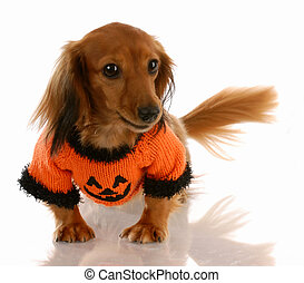 miniature long haired dachshund dressed up for halloween