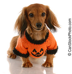 long haired miniature dachshund wearing festive pumpkin...