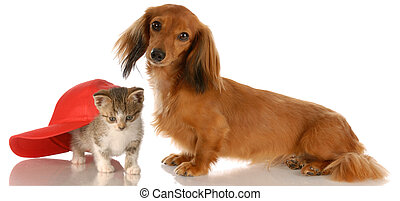 long haired dachshund sitting beside kitten hiding under baseball cap
