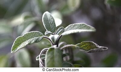 Sage, medical plant - Sage tea preparation with fresh sage...