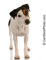 smooth coat tri-colored jack russel terrier standing