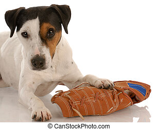 playful dog - jack russel terrier laying beside baseball...