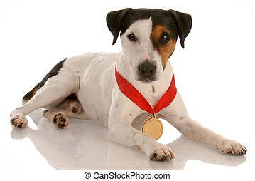 jack russel terrier with award winning medal around neck