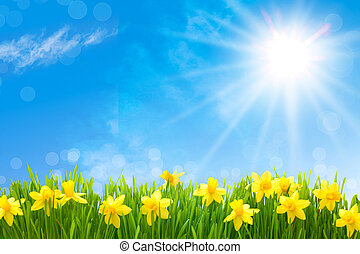 Daffodils against blue sky - Spring narcissus flowers in...