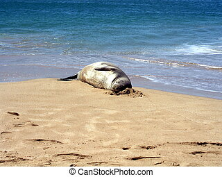 Sandy pillow - Hawaiian monk seal having a sleep with sand...