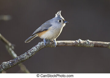 Tufted Titmouse backlit by late afternon sun