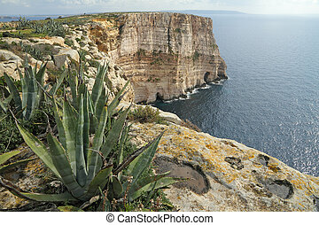 agave plants on spectacular cliffs on Gozo island, Malta,...