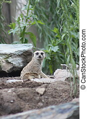 Meercat looking over