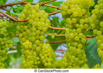 Young green grape - Bunches of green grapes still on the...