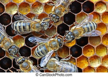Nectar or honey transfer. - Bees transfer one other nectar...