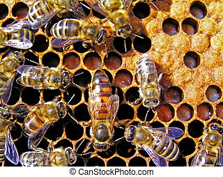rainha, abelha, atrás de, trabalho