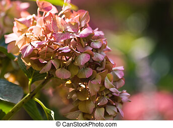 Hortensia flowers at end of summer - horizontal - Hortensia...