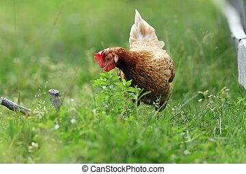 regarder, nourriture, poule