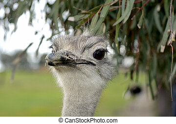 Face Ostrich - A front head portrait of an African Ostrich...