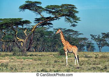 Ugandan giraffe - Savanna landscape with ugandan giraffe...