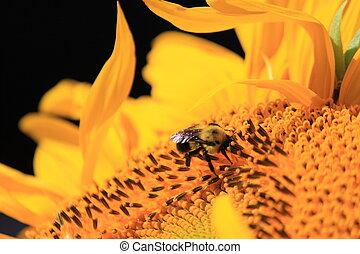 girassol, abelha,