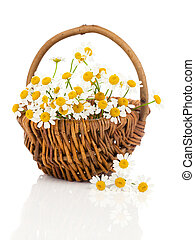 beautiful camomile flowers in basket, isolated on white