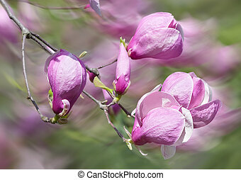 blossoming magnolia flowers - Soft focus image of blossoming...