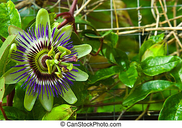 Passion Flower - an image of the beautiful Passion flower in...