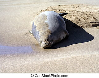 Look at that face - Cute Hawaiian Monk seal on beach