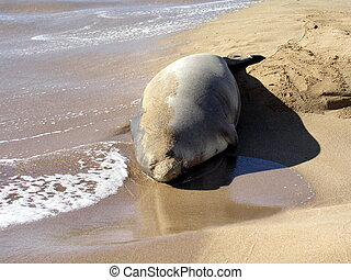 Relaxing on beach - Hawaiian Monk seal relaxing on beach