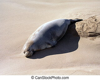 Laying in sunlight - Sleeping Hawaiian monk seal