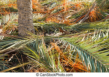Palm tree fronds - Pruned palm tree frond around the tree...