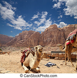 Camel in the Wadi Rum Desert (also known as The Valley of...