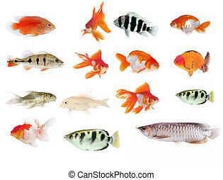 tropical, Muchos, diferente, pez, Colección
