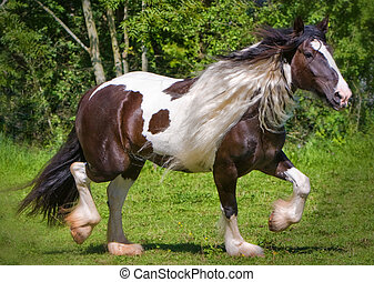 gypsy horse walking