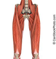 Upper Legs Muscles Anatomy Illustration. 3D render