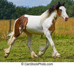 foal running - gypsy horse foal
