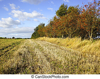 agricultural landscape - a row of moutain ash trees with red...